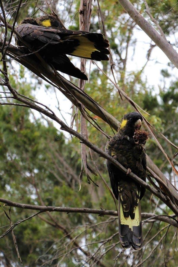 坐在树的一个对黄色被盯梢的黑美冠鹦鹉 图库摄影
