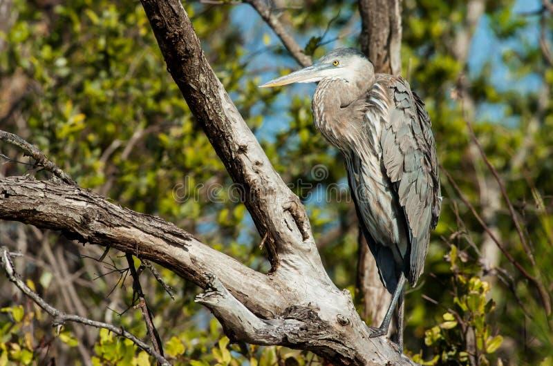 坐在树的伟大蓝色的苍鹭的巢 免版税库存照片