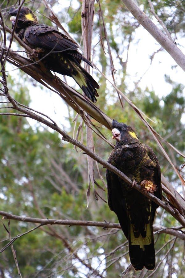 坐在树的对黄色被盯梢的黑美冠鹦鹉食用早餐 库存图片