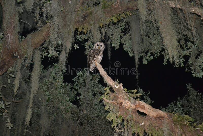 坐在树的条纹猫头鹰 免版税库存照片