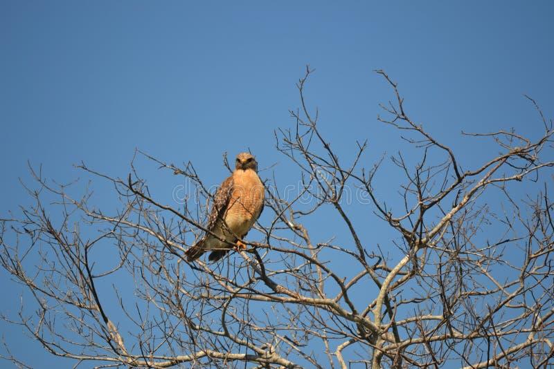坐在树的沼泽地鹰 免版税图库摄影
