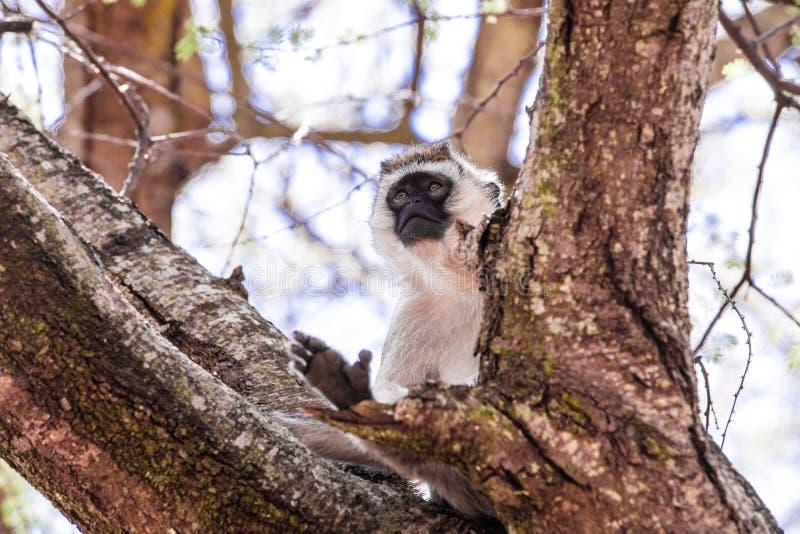 坐在树的猴子 免版税库存照片