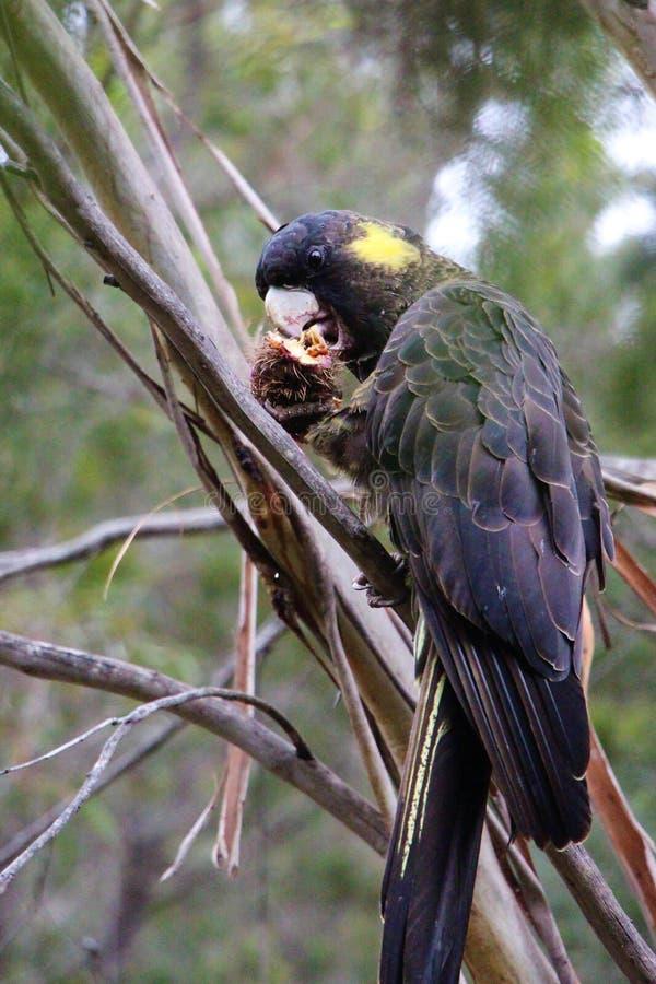 坐在树的黄色被盯梢的黑美冠鹦鹉食用早餐 免版税库存图片