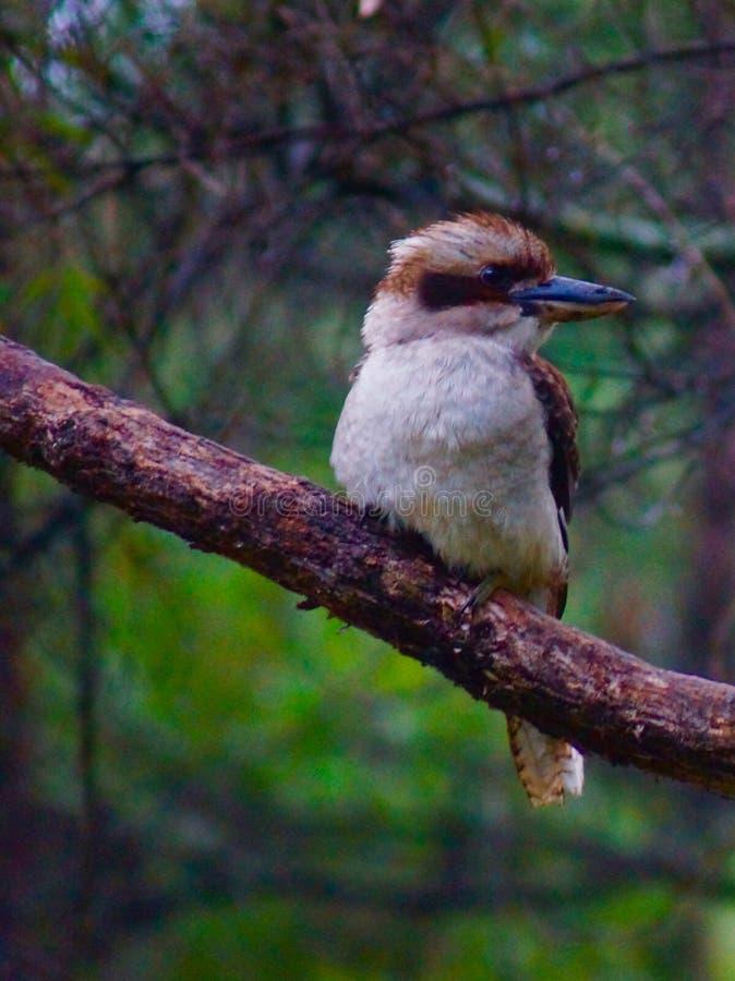 坐在树的Kookaburra 亚历山德拉桥梁 免版税库存图片