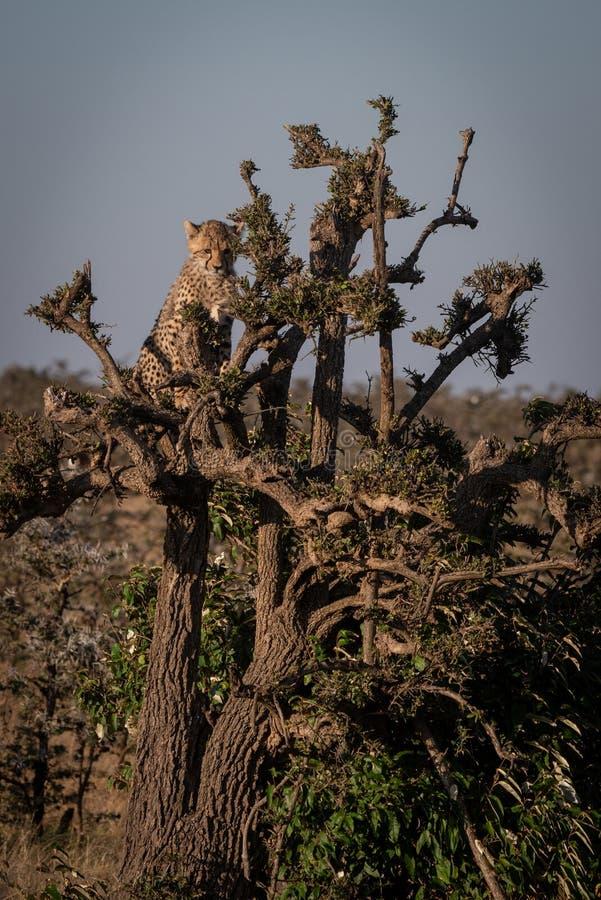 坐在树顶部的猎豹崽 库存图片