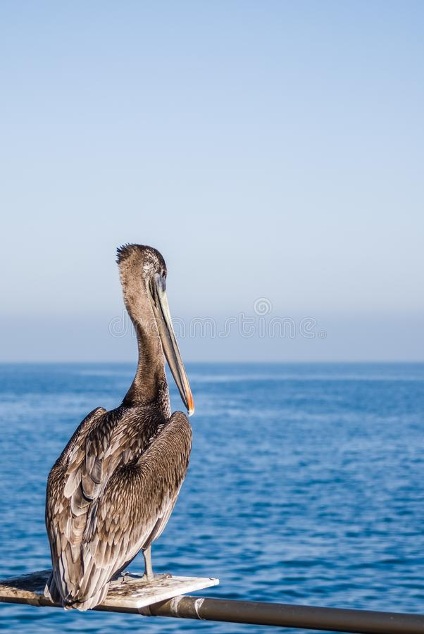 坐在栖息处上面的鹈鹕在栏杆在海洋附近在卡利 图库摄影