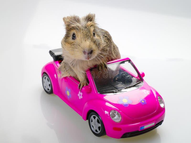 坐在桃红色汽车的试验品或豚鼠属 免版税图库摄影