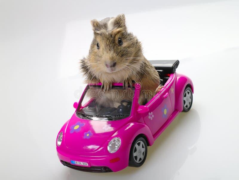 坐在桃红色汽车的试验品或豚鼠属 库存图片