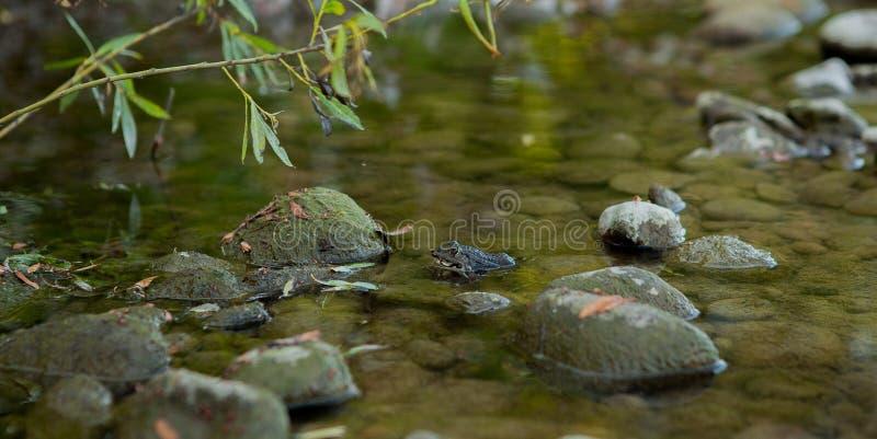 坐在水中的绿色水池青蛙享用太阳接近的,可食的青蛙,看法从后面 图库摄影