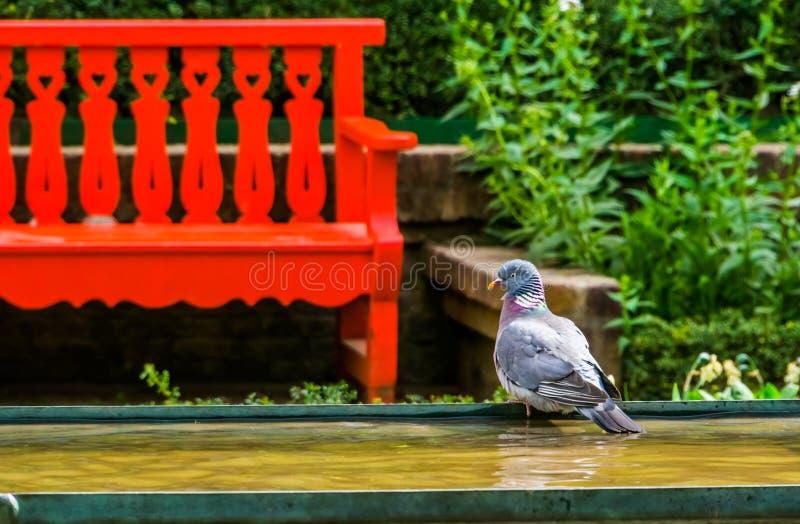 坐在水边在公园,从欧亚大陆的鸟种类的共同的木鸠 免版税库存照片