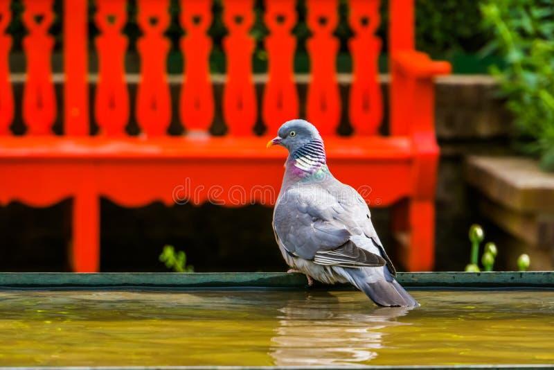 坐在水边的一只共同的木鸠的特写镜头画象在公园,从欧亚大陆的鸟硬币 免版税图库摄影