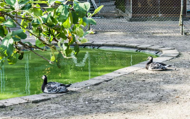 坐在池塘森林的两只美丽的黑白色鸭子环境美化 免版税库存照片