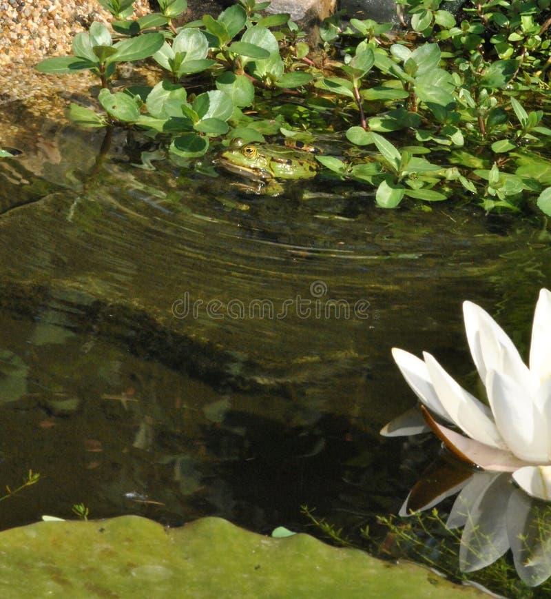 坐在池塘的青蛙 免版税库存图片