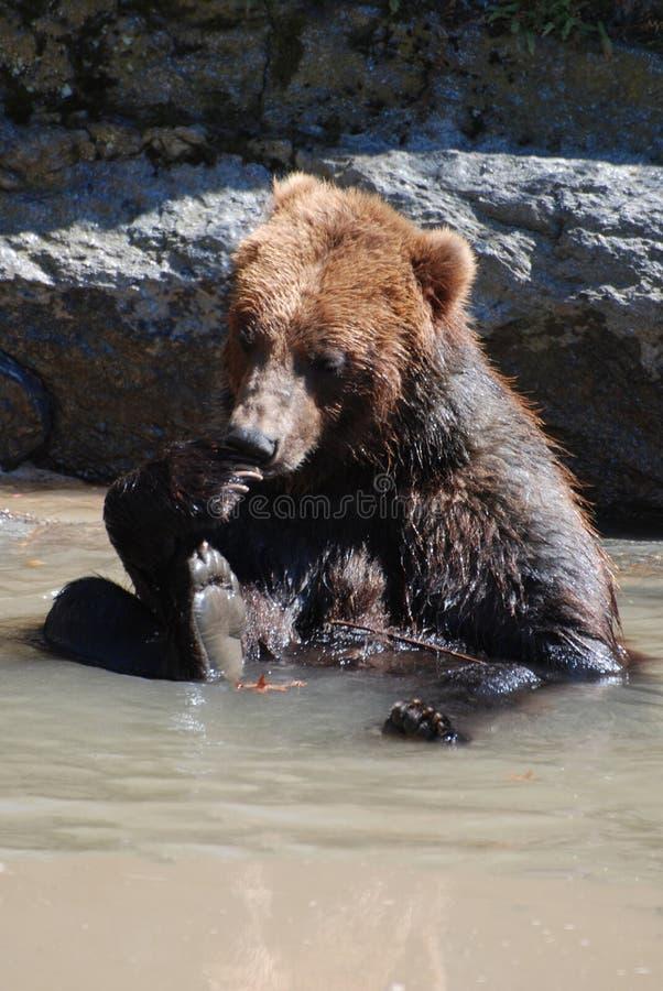 坐在浅水区的北美灰熊使用他自己 免版税库存照片