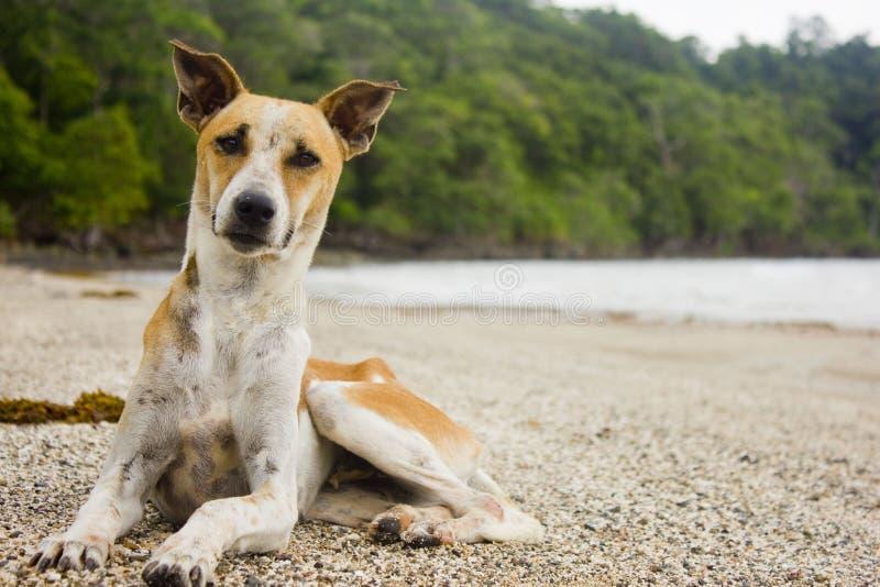 坐在海滩的狗 库存图片