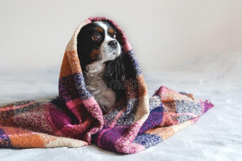 坐在温暖的毯子下的逗人喜爱的狗 免版税库存图片