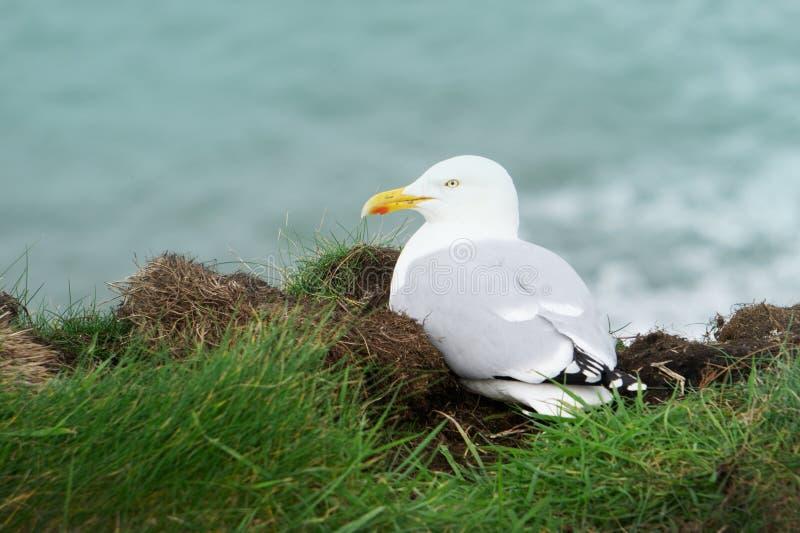 坐在港以撒,康沃尔郡,英国的象草的小山一边的一只美丽的白色鸟 免版税库存图片