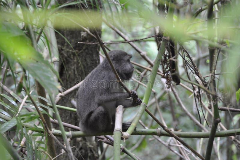 坐在灌木之间的孤独的猿 免版税库存照片