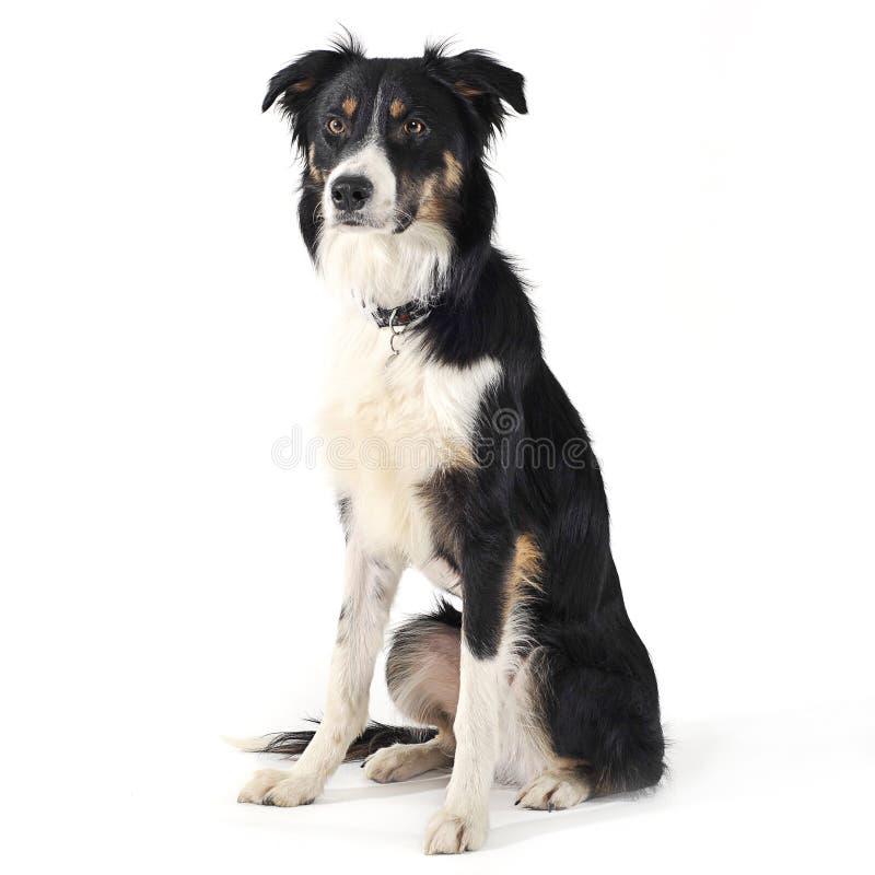 坐在白色演播室地板的博德牧羊犬 免版税库存照片