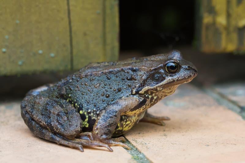 坐在砖盲区的沼蛙 库存照片