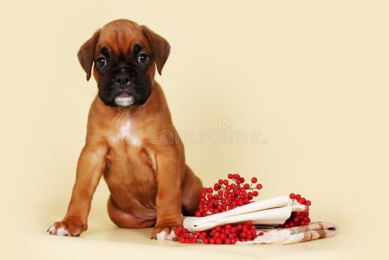 坐在秋天莓果和sta旁边的美丽的红色小狗拳击手 免版税库存照片