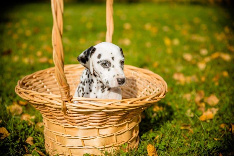 坐在秋季自然背景前面的一个篮子的达尔马希亚小狗 在一个柳条筐的逗人喜爱的小狗在秋季 免版税库存照片
