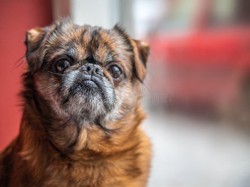 坐在窗口前面的老脾气坏和孤独的棕色pud或牛头犬等待他的从工作的所有者 免版税图库摄影