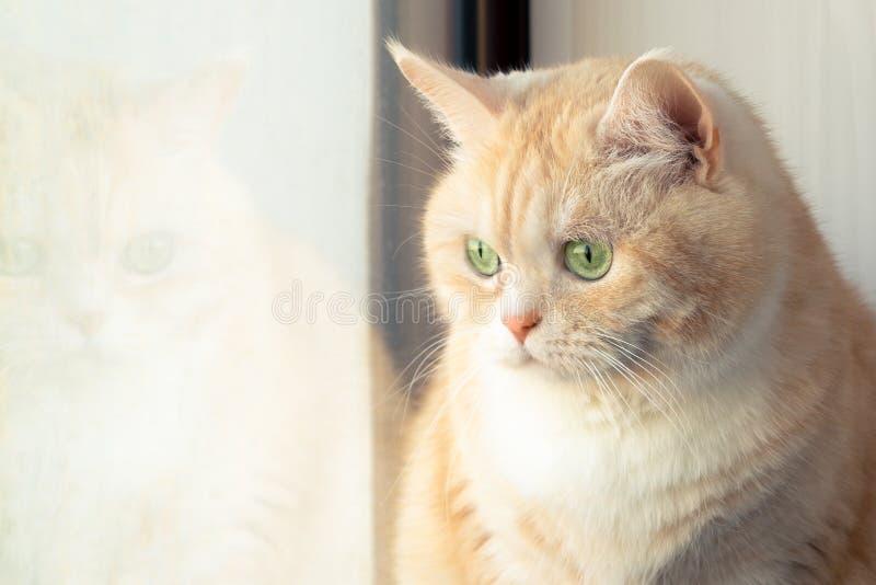 坐在窗口附近的美丽的哀伤的乳脂状的虎斑猫 免版税库存照片