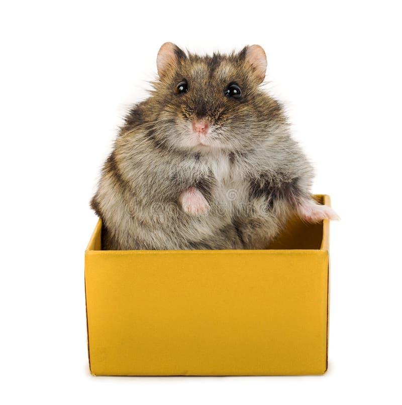 坐在箱子的逗人喜爱的灰色仓鼠 免版税图库摄影
