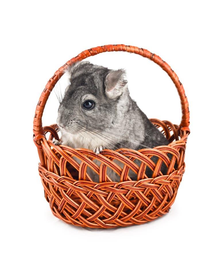 坐在篮子的灰色黄鼠 免版税库存图片