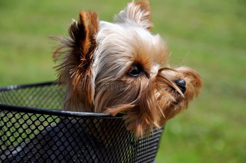 坐在篮子自行车的约克夏狗 免版税库存图片