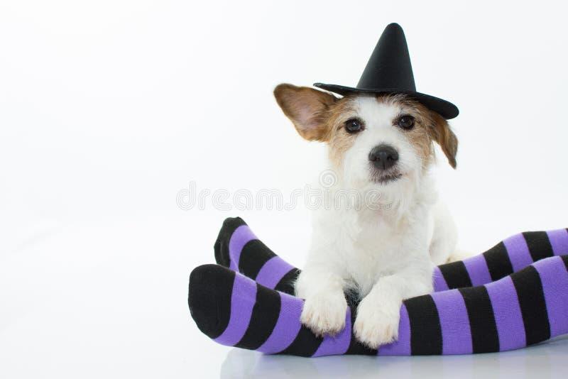 坐在紫色的逗人喜爱的万圣夜狗巫婆或巫术师帽子和 库存照片