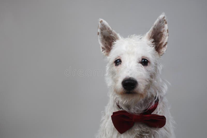 坐在红色蝶形领结的演播室的白色狗 库存图片