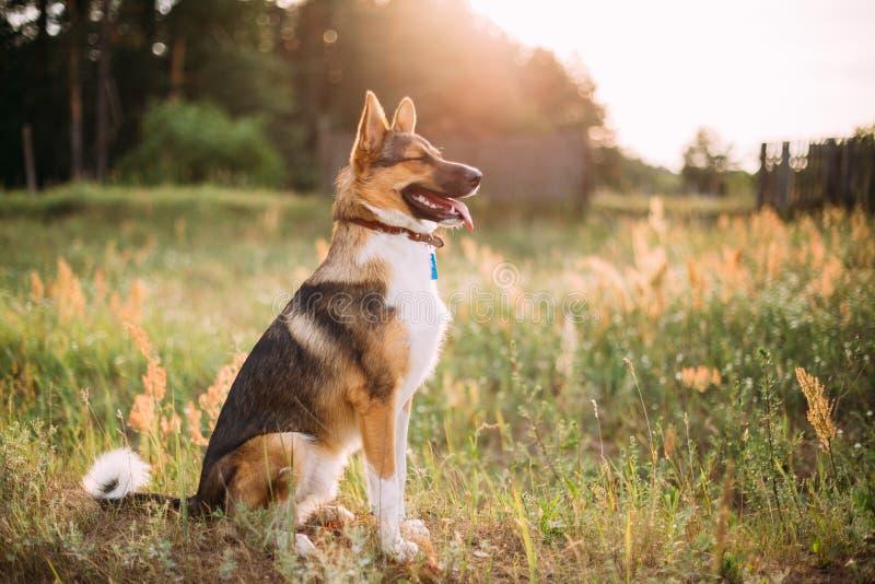 坐在绿草的混杂的品种狗在日落时间 画象 免版税库存图片