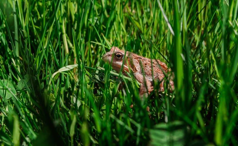 坐在绿草的蟾蜍 免版税库存照片
