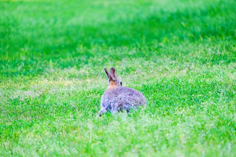 坐在绿草的野兔在森林里 免版税库存图片
