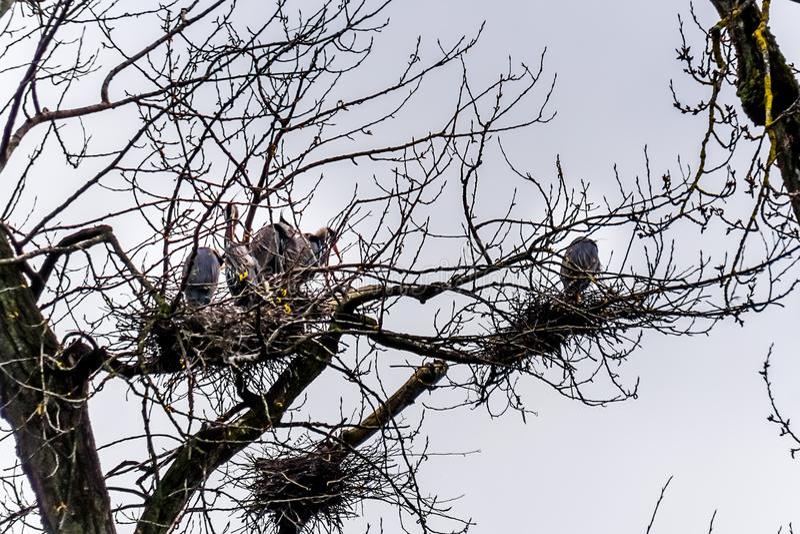 坐在美丽的英国C的Chilliwack附近的群伟大蓝色的苍鹭的巢 免版税库存图片