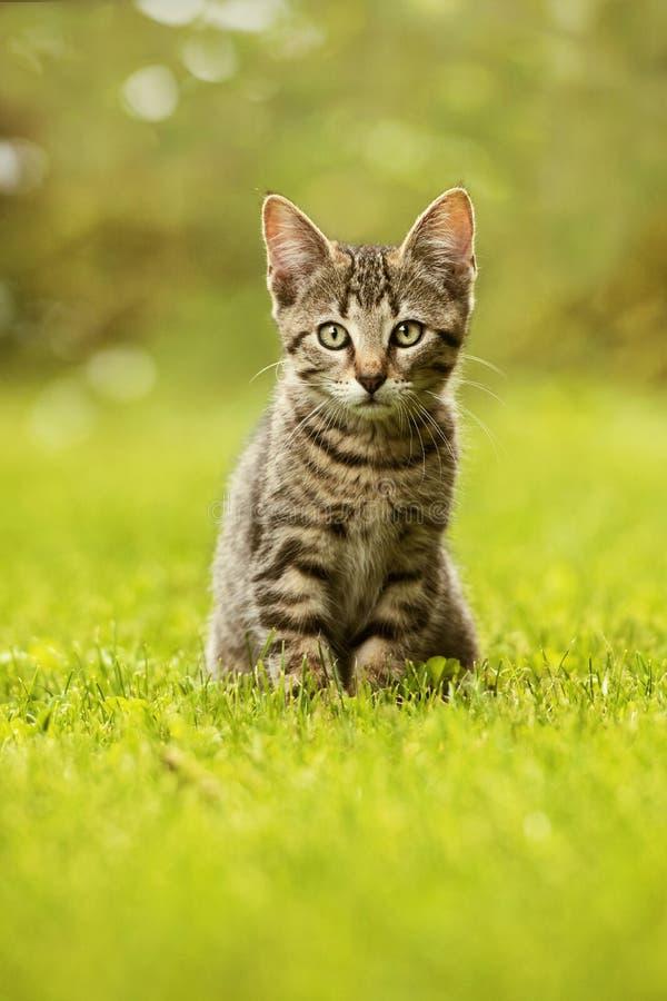 坐在草甸的平纹小猫 免版税库存照片
