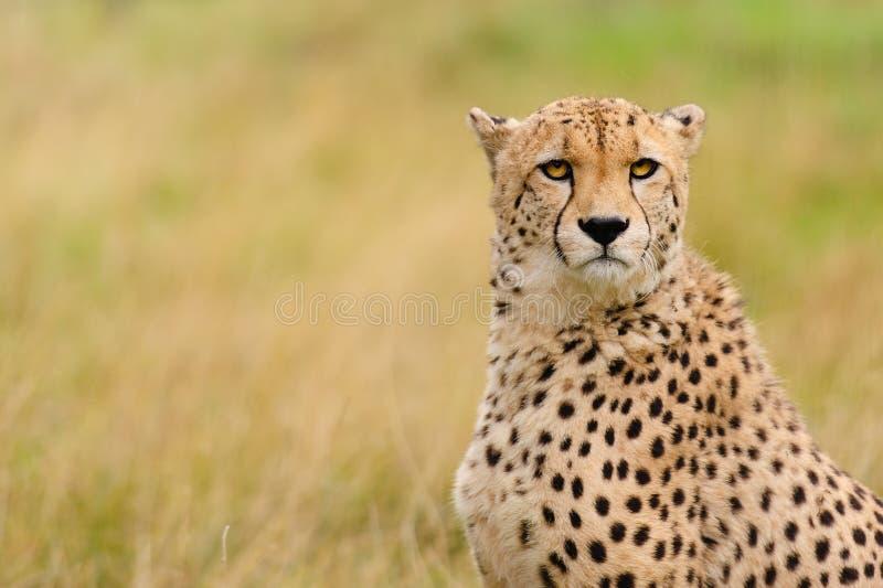 坐在草的猎豹 免版税图库摄影