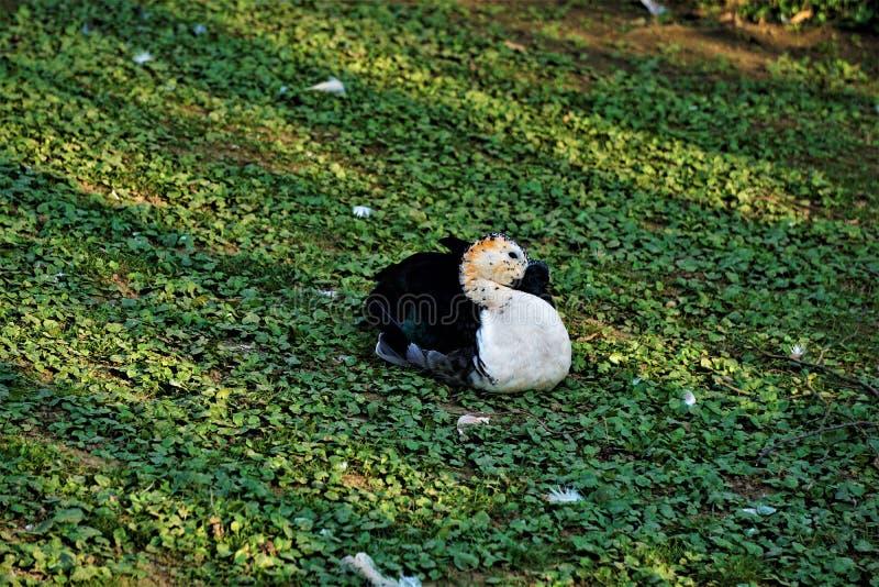 坐在草的瘤开帐单的鸭子在动物园里 库存图片