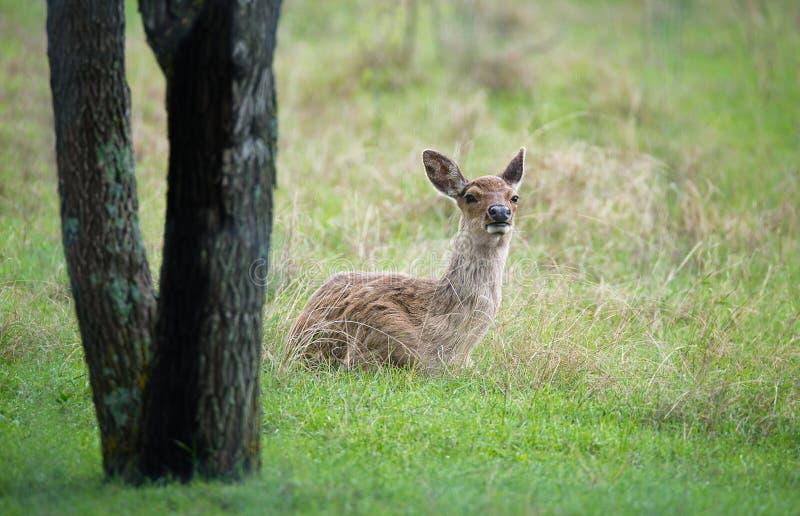 坐在草的白被盯梢的鹿空齿鹿属virginianus 免版税图库摄影
