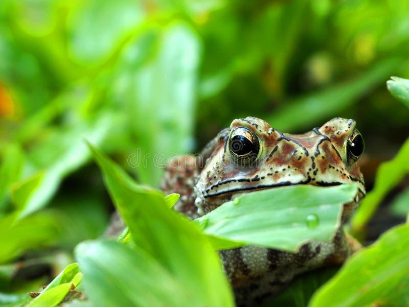 坐在草的蟾蜍的特写镜头 库存图片