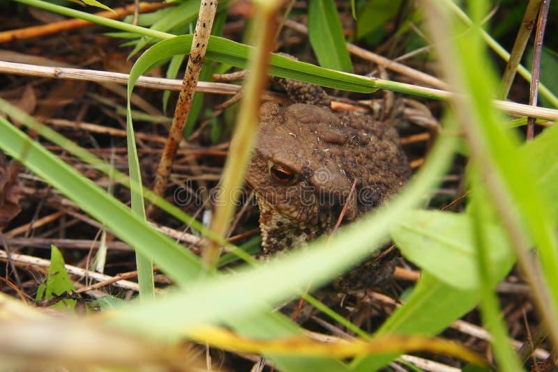 坐在草的蟾蜍 库存照片