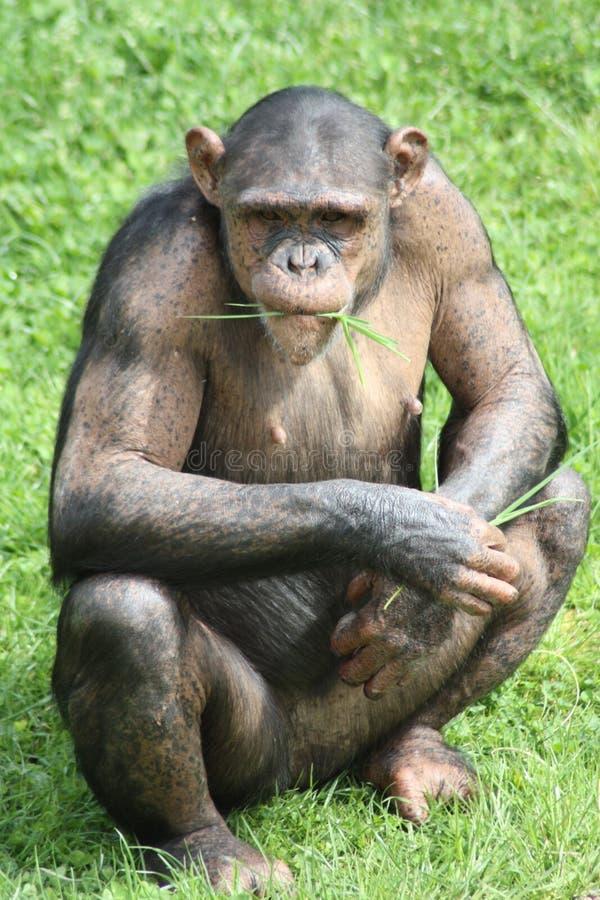 坐在草的黑猩猩 免版税图库摄影