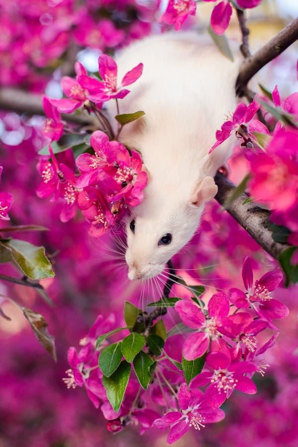 坐在蒲桃开花的逗人喜爱的花梢鼠 库存照片