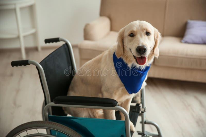 坐在轮椅的逗人喜爱的服务狗 库存照片