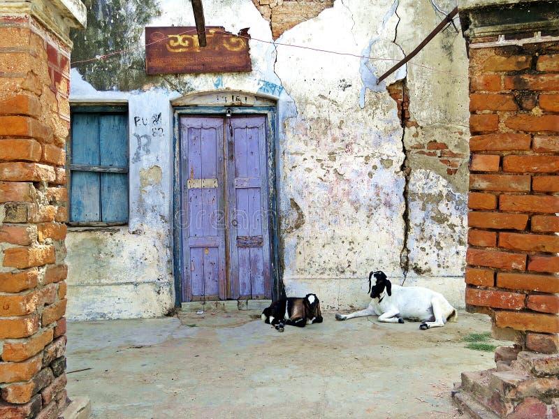 坐在门入口,拉杰沙希市,孟加拉国前面的山羊 免版税库存照片