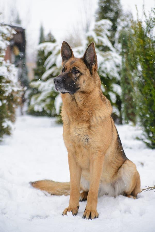 坐在雪的德国牧羊犬 免版税库存照片