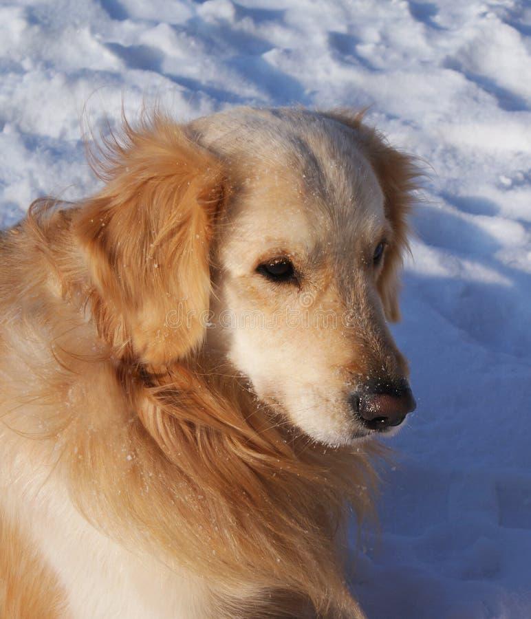 坐在雪的金毛猎犬 免版税库存照片