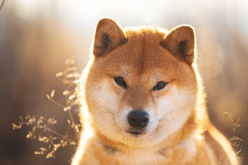 坐在领域的Bautiful红色什巴inu狗在日落 免版税图库摄影